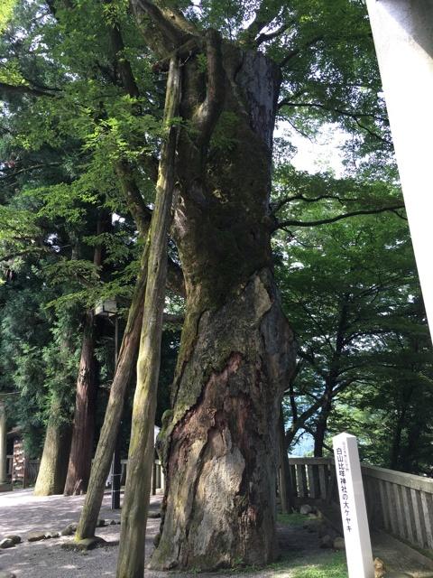 天然記念物 大杉
