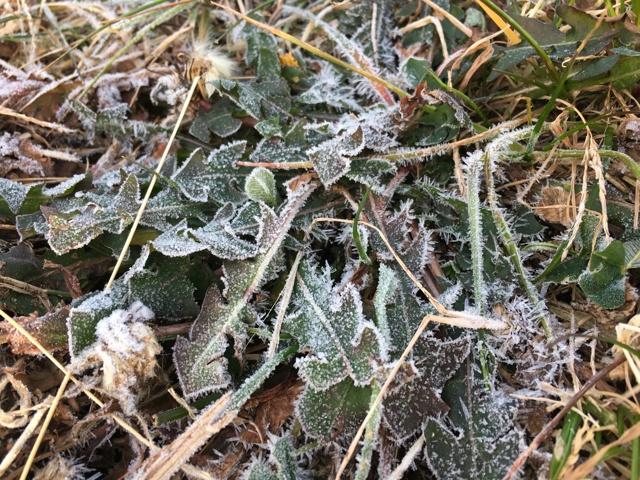 霜が付いたタンポポ